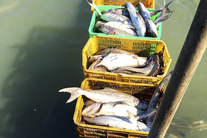 ký sinh trùng, bệnh cá, bệnh trên cá bớp, cá bớp, nuôi cá bớp
