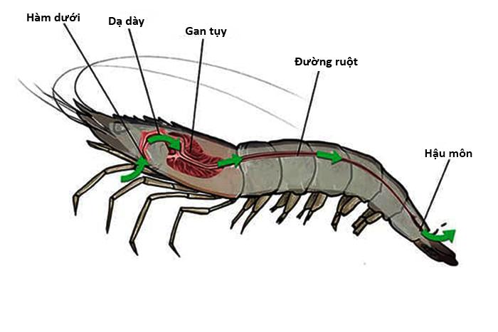 gan tôm, cấu trúc gan tôm chức năng gan tôm, nuôi tôm