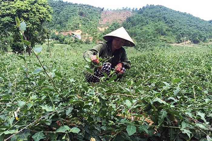 thảo dược nuôi tôm, nuôi tôm thảo dược, nuôi tôm Nghệ An, mô hình nuôi tôm