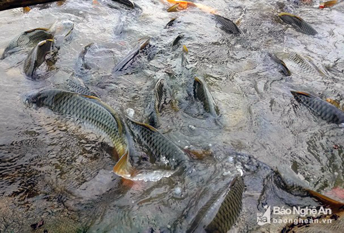 nuôi cá chép giòn, nuôi cá, nuôi cá chép, mô hình nuôi cá