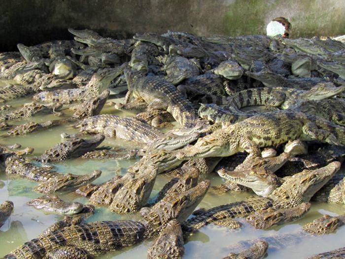 cá sấu, nuôi cá sấu, giá cá sấu, nuôi cá, nông dân làm giàu