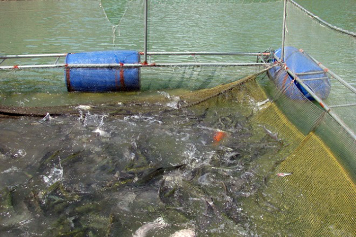 nuôi cá, cho cá ăn tỏi, trị bệnh cho cá, phòng bệnh cá, bệnh trên cá, nuôi cá lồng