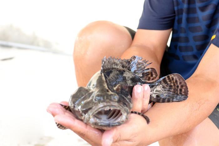 cá song vua, sản xuất giống cá, nuôi cá, cá giống, giống cá song vua