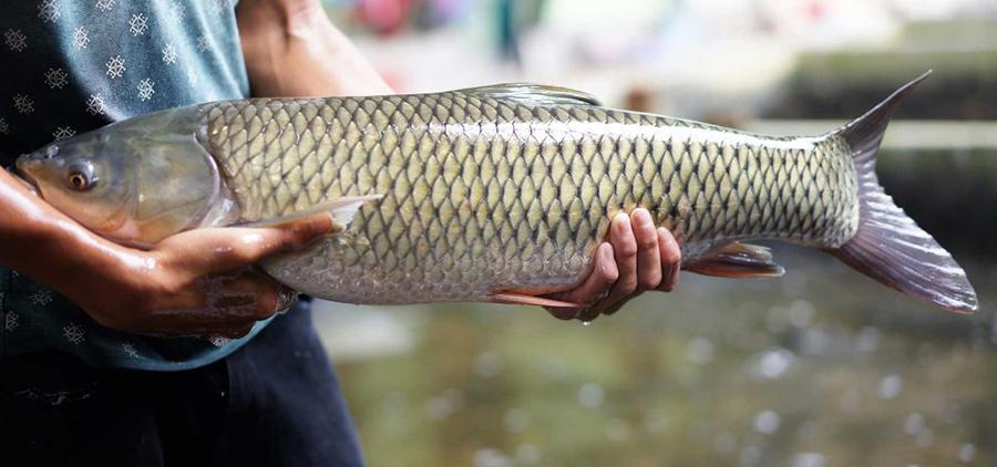 bột bã nho, nguyên liệu, cá trắm cỏ, phòng bệnh cho cá, thảo dược cho cá