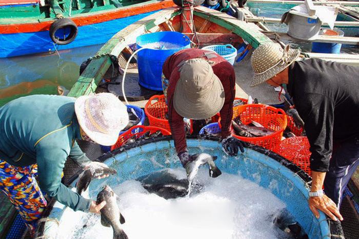 nuôi cá biển, nuôi biển, nghề nuôi biển, nuôi cá Bình Định, vùng nuôi cá