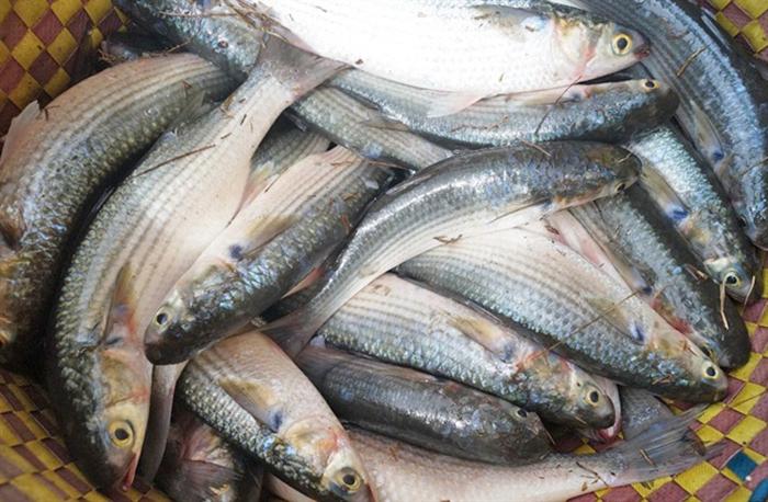 nuôi cá, mô hình nuôi cá, nuôi cá đối, nuôi tôm