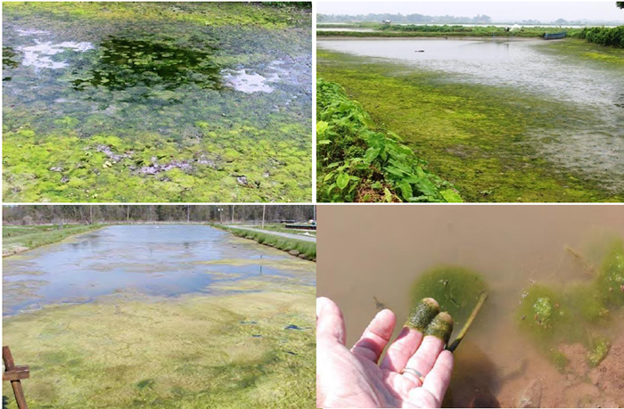 tảo, tảo sợi trong ao, xử lý tảo, tảo nở hoa, tảo trong ao cá