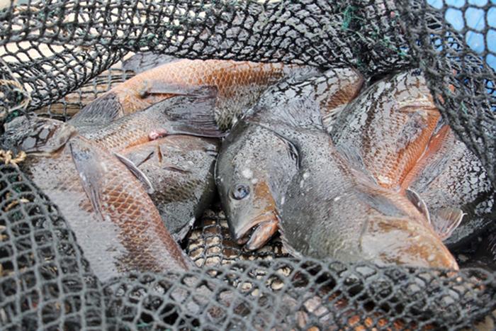 Nuôi cá, nuôi cá lồng, nuôi cá lồng Hà Tĩnh, mô hình nuôi cá