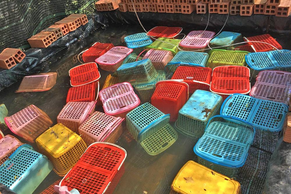 nuôi tôm, nuôi tôm hùm nước ngọt, nuôi tôm càng đỏ, sinh vật ngoại lai, nuôi tôm cấm