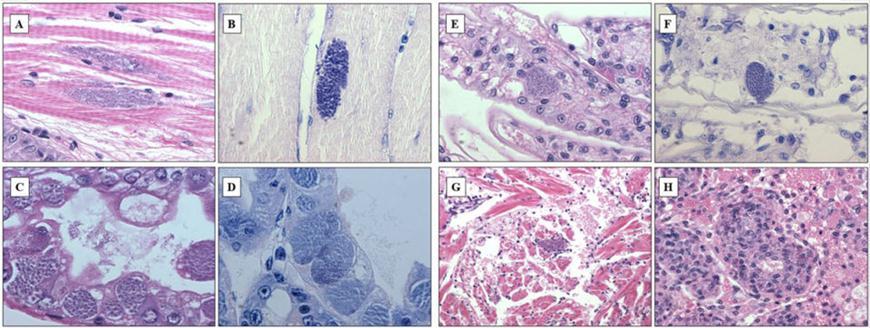 bệnh tôm, bệnh tôm bông, bệnh ký sinh trùng, bệnh ký sinh trùng trên tôm