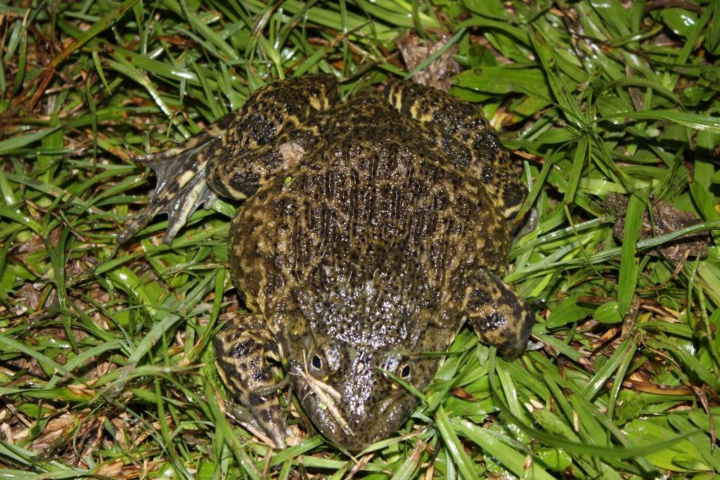 Nhấp ếch đồng