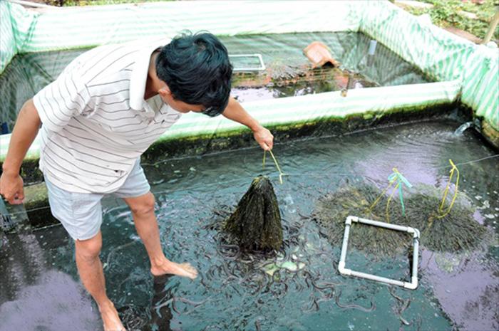nuôi lươn, mô hình nuôi lươn, nuôi lươn Cần Thơ, nghề nuôi lươn
