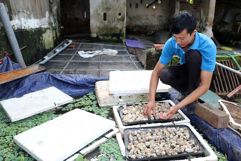 nuôi ốc, nuôi ốc nhồi, mô hình nuôi ốc, nông dân làm giàu