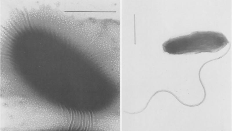 Vibrio diabolicus - Vi khuẩn mới, gây bệnh trên thủy sản