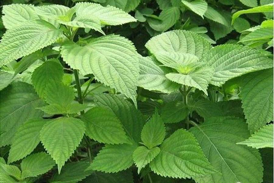 Kinh giới (Origanum vulgare).