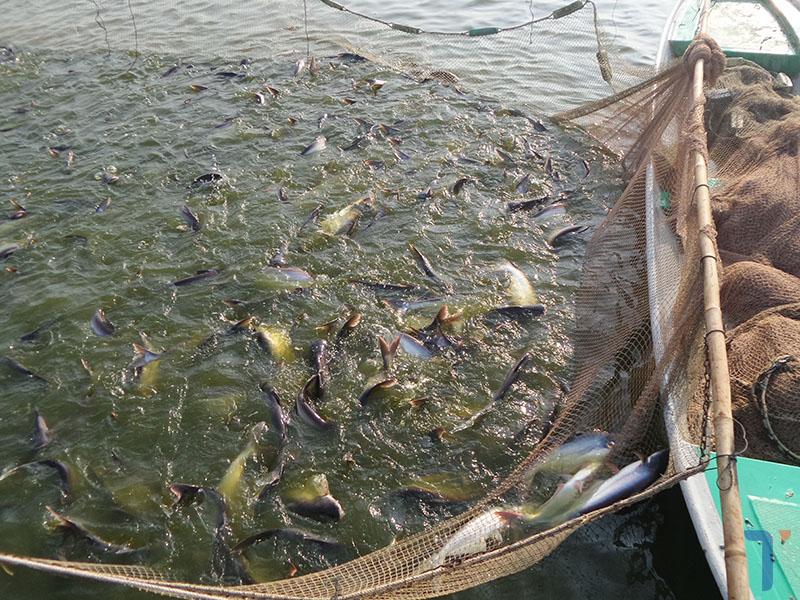 cá tra Việt Nam