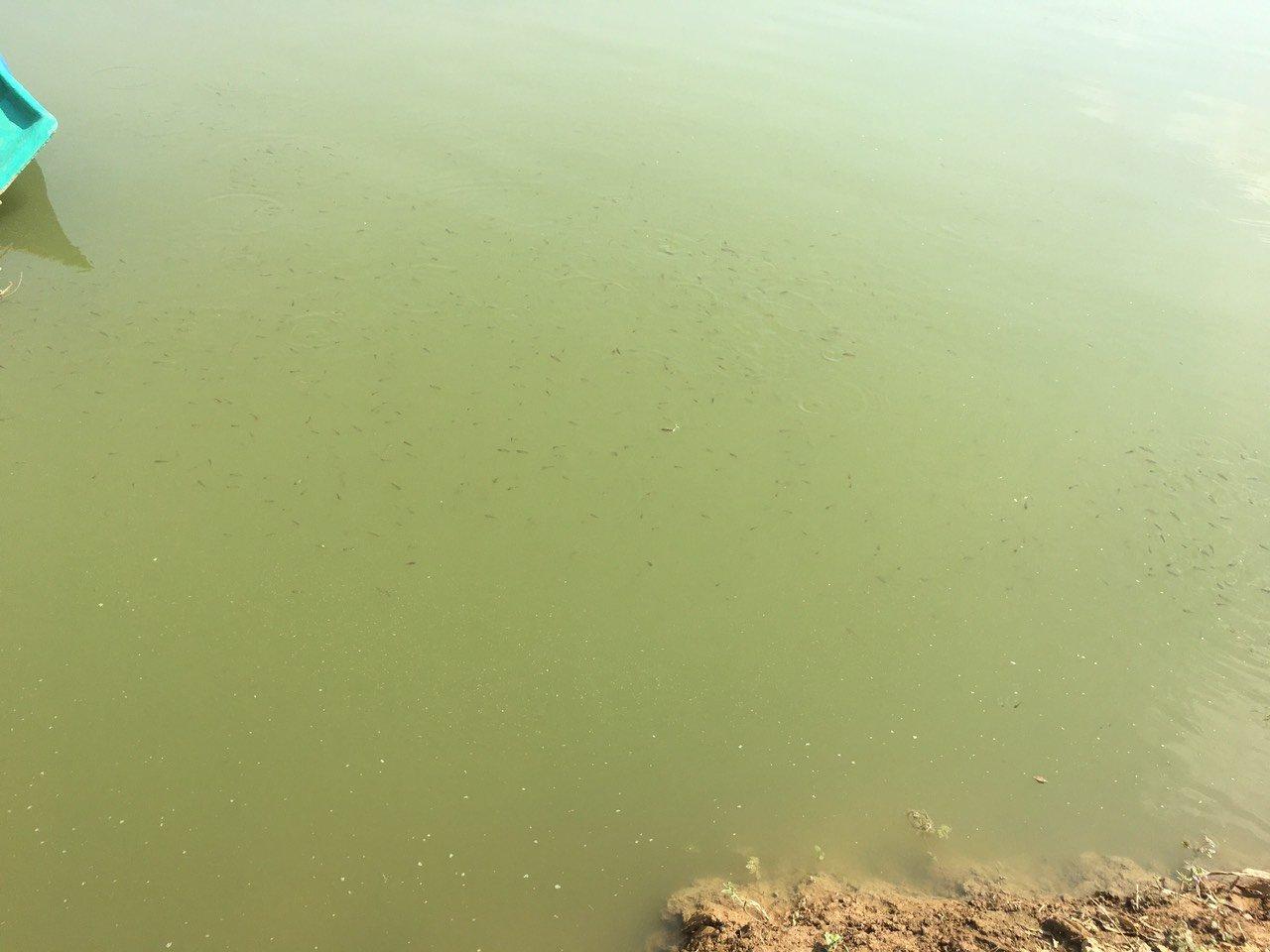 tảo ao tôm