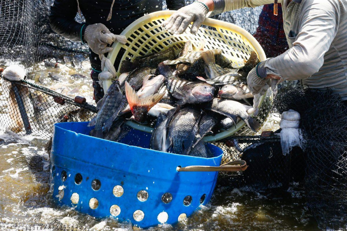 thu hoạch cá rô phi