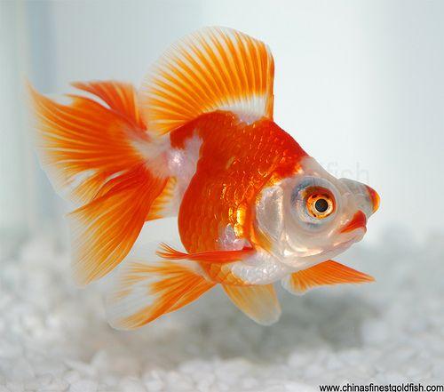 cá vàng đẹp