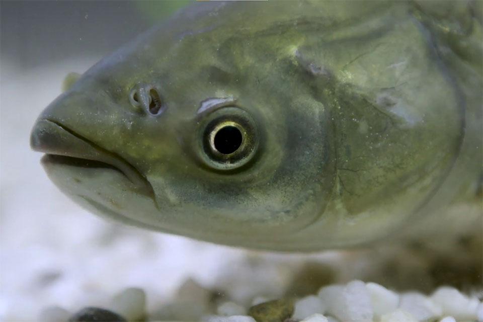 cá trắm cỏ