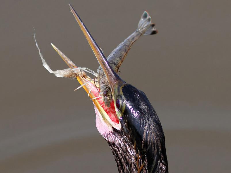 chim ăn tôm