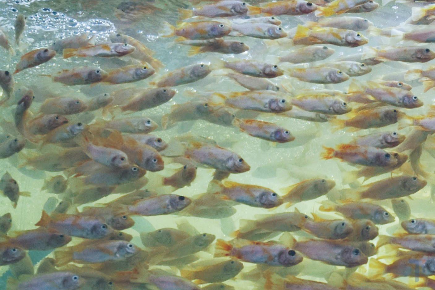 cá điêu hồng giống