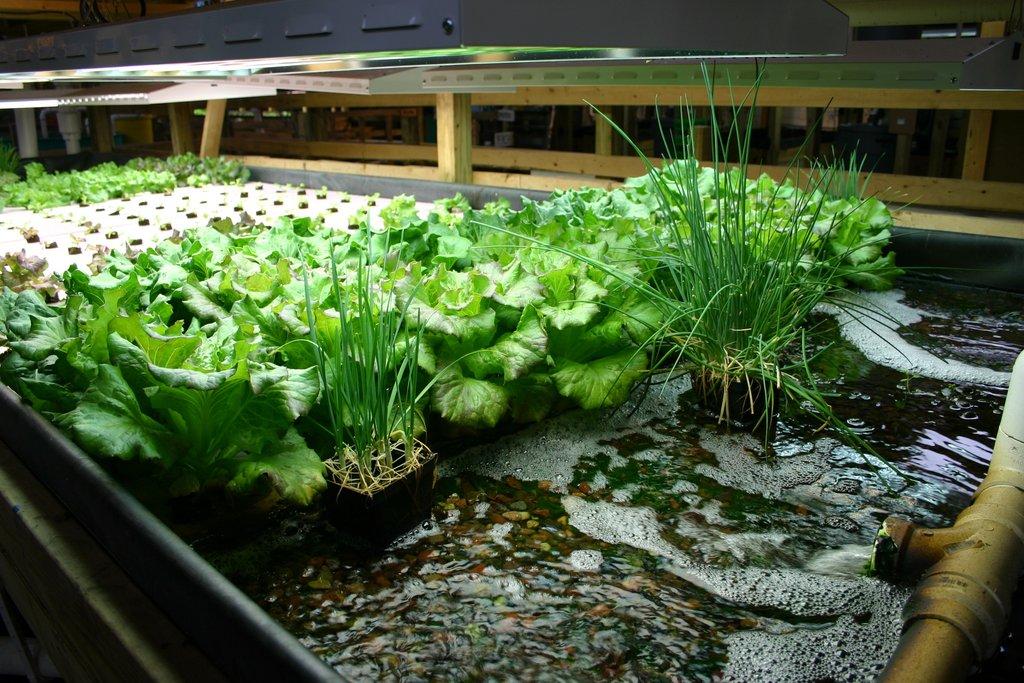 aquponics quy mô nhỏ
