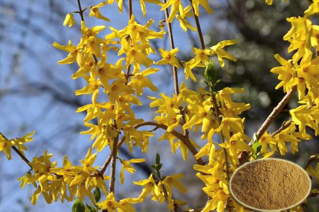 Forsythia suspensa, cây liên kiều với tôm