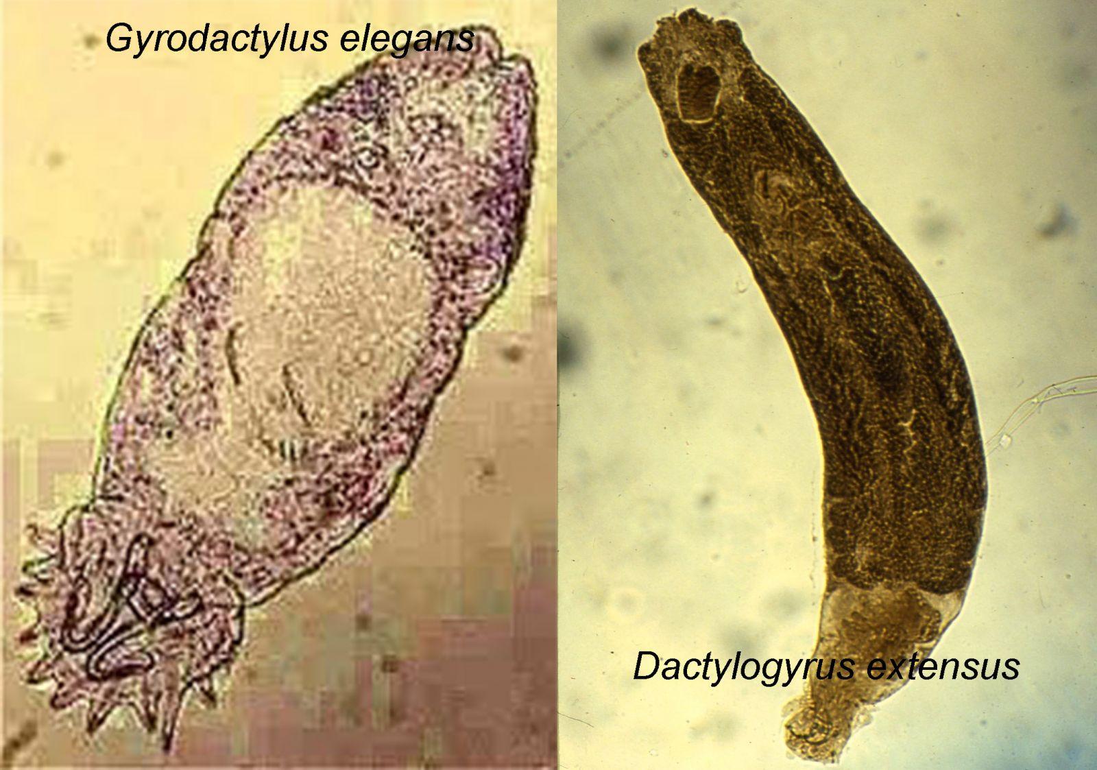 Gyrodactyluselegans, Dactylogyrus extensus, ký sinh trùng trên cá, sán lá đơn chủ