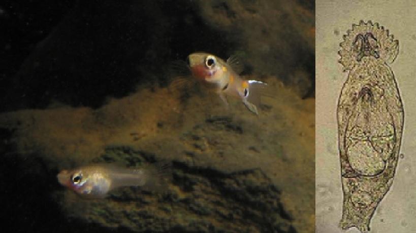 Gyrodactylus turnbulli, Gyrodactylus turnbulli trên cá, ký sinh trùng, bệnh ký sinh trùng trên cá