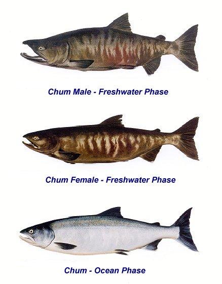 Oncorhynchus keta, cá hồi chum, cá hồi Oncorhynchus keta
