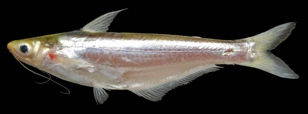 cá xác sọc, các sát sọc, cá sát, Pangasius macronemus