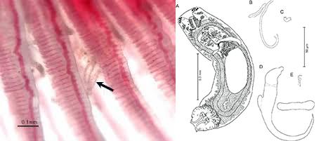 Pseudodactylogyrus, Pseudodactylogyrus trên cá, Pseudodactylogyrus in fish, trị ký sinh trùng cho cá