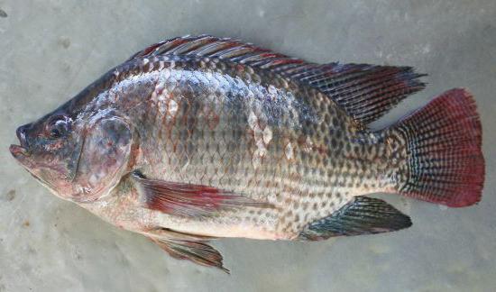 bệnh trên cá rô phi, bệnh trên cá, bệnh do vi khuẩn trên cá