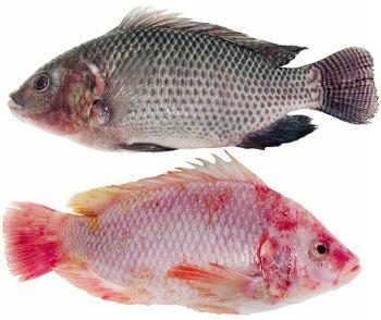 TiLV, TiLV in fish, bệnh trên cá rô phi, bệnh trên cá, bênh cá