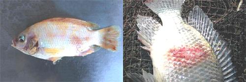 Bệnh Tivl trên cá rô phi, bênh TiVL trên cá, phòng bệnh TiVL trên cá rô phi