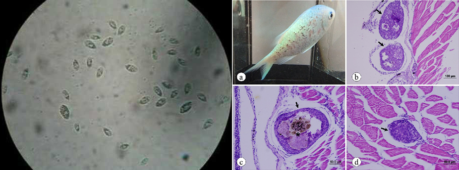 Uronema sp,Uronema sp trên cá, Uronema sp in fish, trị ký sinh trùng, ký sinh trùng , thảo dược