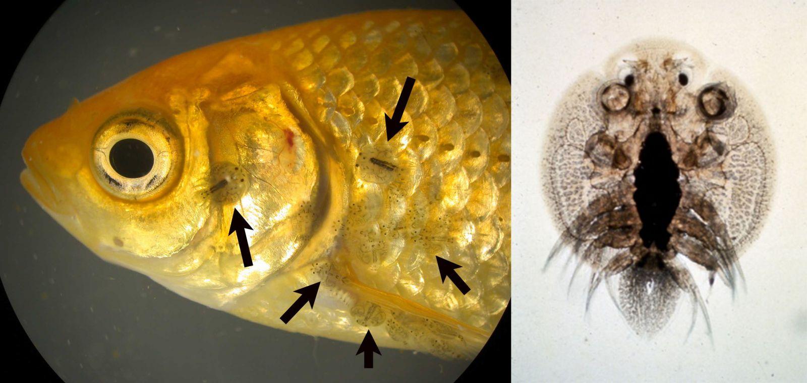 trị rận cá, trị ký sinh trùng trên cá, thảo dược thủy sản, thảo dược trị ký sinh trùng