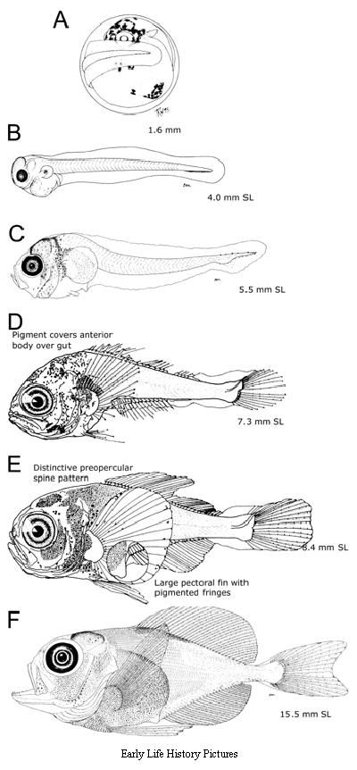 ấu trùng cá vền