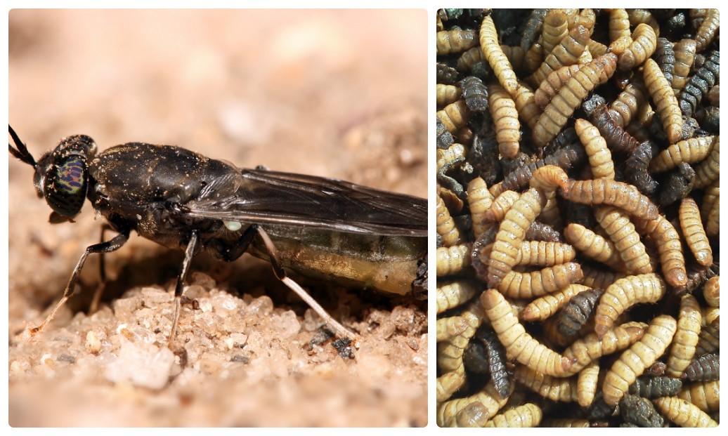 ấu trùng ruồi lính đen, nguyên liệu thức ăn, nguyên liệu thủy sản, thức ăn thủy sản, thay thế bột cá