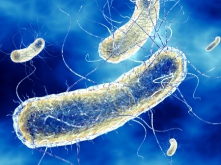 Probiotic tốt cho tôm, bacillus licheniformis, bacillus spp