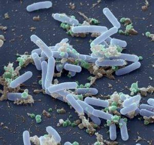 biotic tốt cho tôm, bacillus spp, bacillus pumilus
