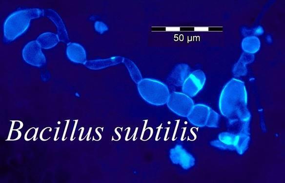 Probiotic tốt cho tôm, bacillus subtilis, bacillus spp