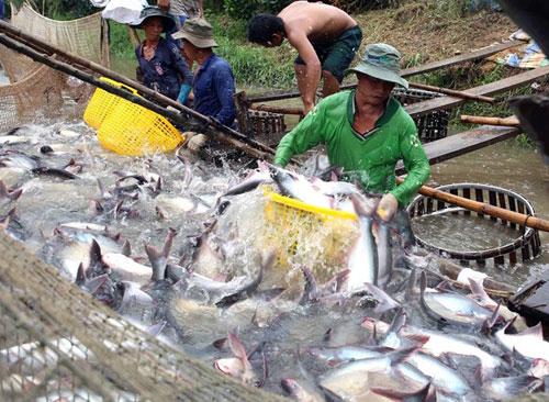 cá tra Việt, cá tra vô danh, thương hiệu cá tra, xuất khẩu cá tra, cá tra đi Mỹ
