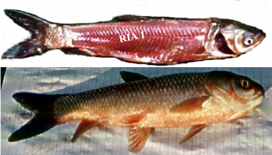 bệnh trên cá trắm, bệnh trên cá trắm cỏ, bệnh do virus trên cá trắm