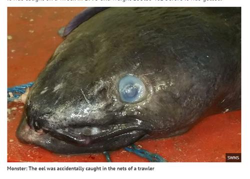 cá chình mắc lưới