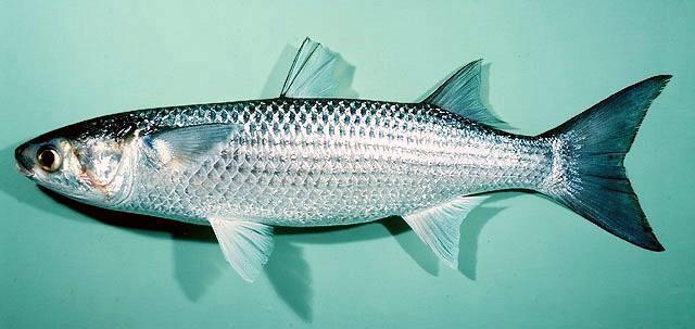 cá nuôi ghép tôm, lợi ích cá nuôi ghép tôm, phòng bệnh cho tôm, tôm, nuôi tôm