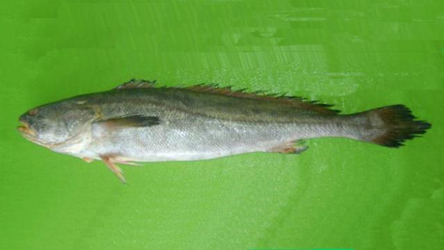 cá sủ, cá sủ vàng, loài cá sủ, cá đường