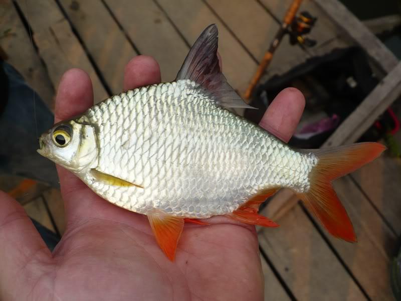 cá he vàng