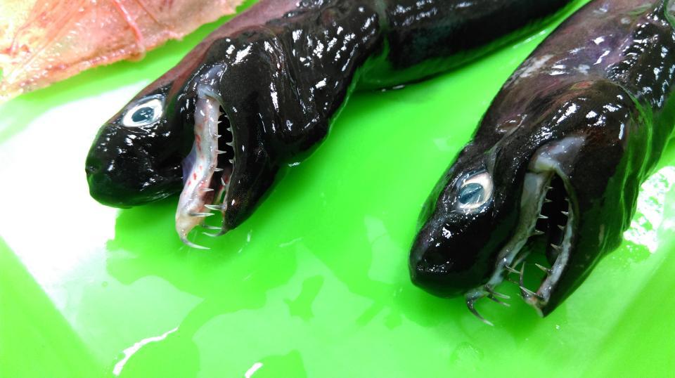 loài cá mập, cá mập viper, loài cá mập viper, cá mập, quái vật